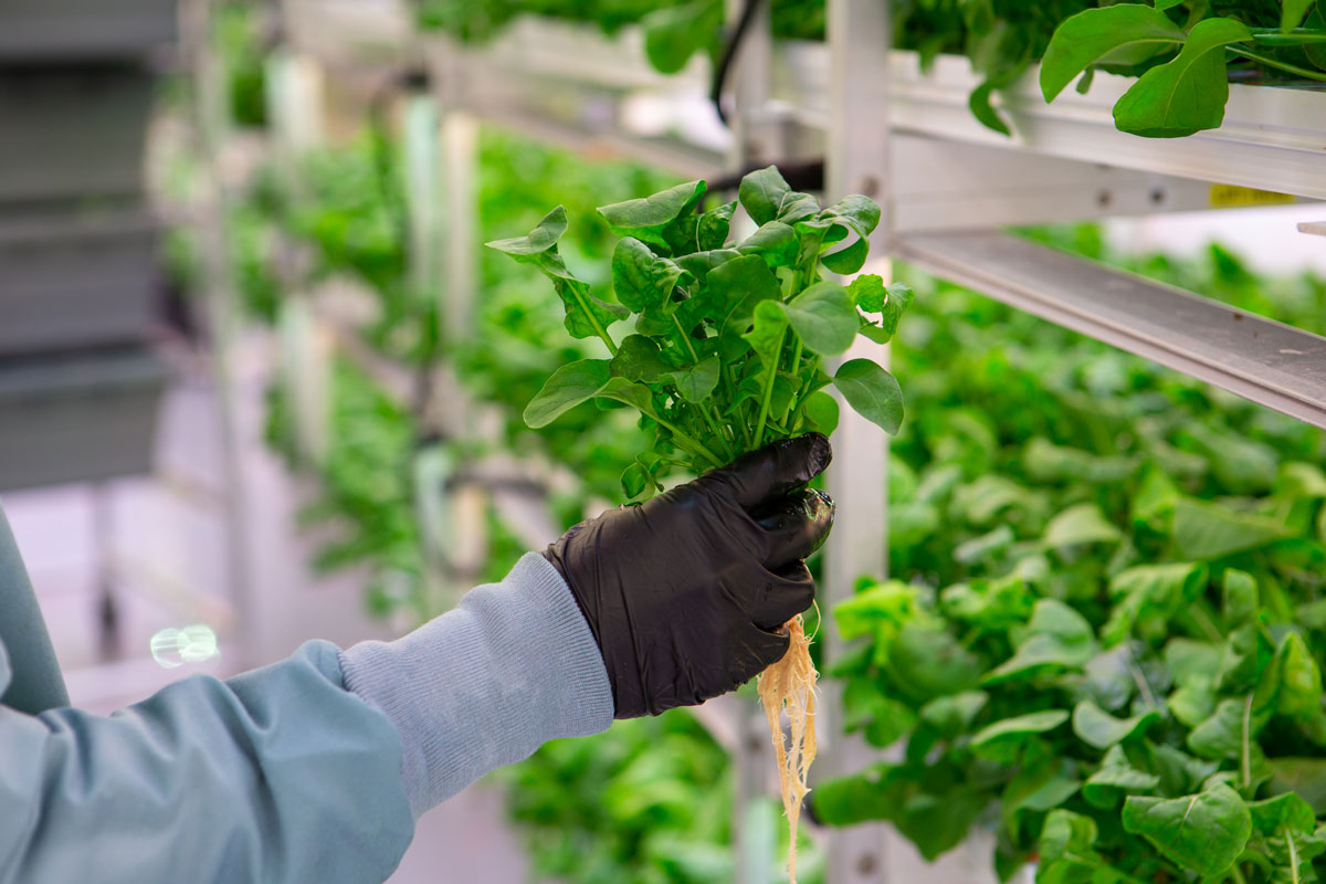The History and the Future of Hydroponics
